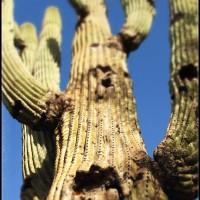 Really-Tall-Cactus